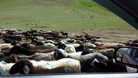 Sheeps en el camino en Polonia Foto de archivo libre de regalías