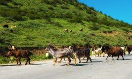 Sheeps en geit Royalty-vrije Stock Afbeelding
