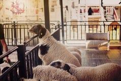 Sheeps en granja Ciérrese encima de ovejas de la cara Imagen de archivo libre de regalías