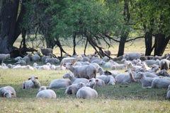 Sheeps en honderd jaar oude eiken bomen royalty-vrije stock fotografie