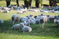 Sheeps en honderd jaar oude eiken bomen royalty-vrije stock afbeelding