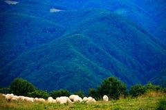 Sheeps en la aldea de Jina Fotos de archivo