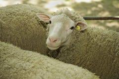 Sheeps en la exposición del ganado Imagenes de archivo