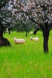 Sheeps en la primavera 2 Foto de archivo
