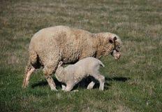 Sheeps en lam Royalty-vrije Stock Afbeeldingen