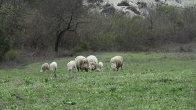 Sheeps en Lammeren die in een Groene Weide bij de Lente weiden stock footage