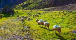 Sheeps en pasto Fotografía de archivo libre de regalías