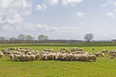 Sheeps en Toscane Photos libres de droits