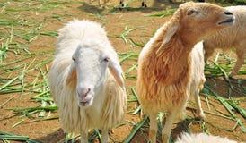 Sheeps en una granja Foto de archivo libre de regalías