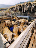 Sheeps Enclosure Royalty Free Stock Photography
