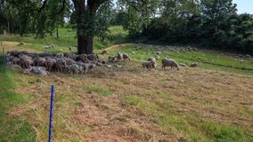 Sheeps enjoying the shadow of a tree on a warm Summer day - Time Lapse. Sheeps enjoying the shadow of a tree on a warm Summer day, shot as a Time Lapse sequence stock footage