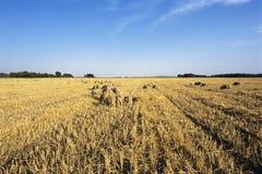 Sheeps Essen lizenzfreies stockbild