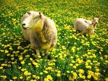 Sheeps et agneaux Photo stock