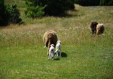 Sheeps et agneaux Photos libres de droits