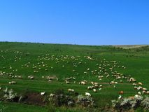Sheeps et chèvres Photos stock