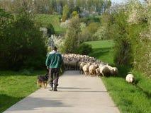 Sheeps följer herden Royaltyfri Bild