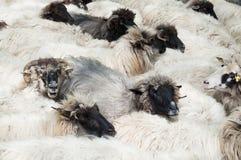 Sheeps at a farm. A group of sheeps at farm take a break Stock Image