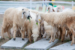 Sheeps farm Royalty Free Stock Photo