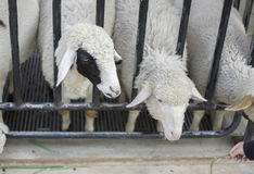 Sheeps in farm. Close up sheep of face Royalty Free Stock Photo