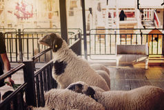 Sheeps in farm. Close up sheep of face Royalty Free Stock Image