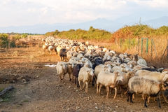 Sheeps on the farm. Royalty Free Stock Images