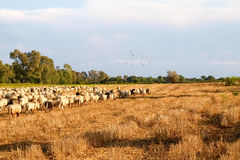 Sheeps on the farm. Royalty Free Stock Image