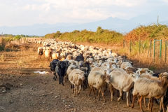 Sheeps on the farm. Stock Image
