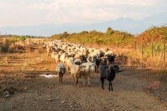Sheeps on the farm. Ghisonaccia, Corse France : Sheeps on the farm Royalty Free Stock Photography