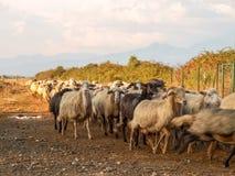 Sheeps on the farm. Ghisonaccia, Corse France : Sheeps on the farm Stock Images