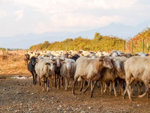 Sheeps on the farm. Ghisonaccia, Corse France : Sheeps on the farm Royalty Free Stock Images