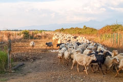 Sheeps on the farm. Ghisonaccia, Corse France : Sheeps on the farm Royalty Free Stock Photos