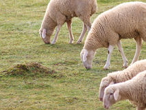 SHEEPS ON FARM Royalty Free Stock Photography