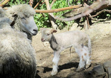Sheeps in the farm land Royalty Free Stock Photo