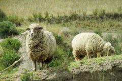Sheeps in the farm Stock Photos