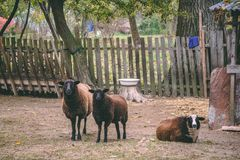 The sheeps at the farm stock images