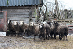 Sheeps at a farm in Russian countryside Stock Image