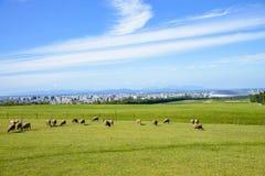 Sheeps farm in Sapporo Japan Royalty Free Stock Photos