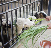 Sheeps in farm. Sheeps enjoy eating grass in farm Stock Images