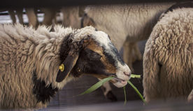 Sheeps in farm. Sheeps enjoy eating grass Stock Images