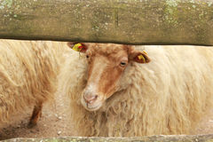 Sheeps on farm Royalty Free Stock Images