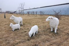 sheeps in farmland Stock Photos