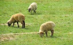 Sheeps at farmland green grass. Sheeps in the farm land green meadow. Nice white sheep in countryside Royalty Free Stock Photo