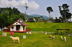 Sheeps in the farmland,Thailand. Sheeps in the farmland,mountain in Thailand royalty free stock image