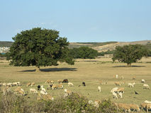 Sheeps Feasting at the Meadow. Sheeps feasting in a meadow. Beautiful giant trees are visible at the background with a clear sky and some buildings royalty free stock image