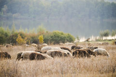 Sheeps feasting in Moldova. Lambs feasting in a pastoral environment. Moldova Stock Image
