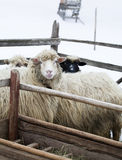 Sheeps after feeding Stock Photography