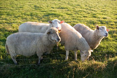Sheeps feeding Royalty Free Stock Photography