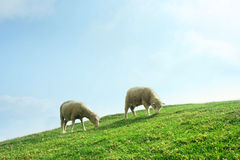 Sheeps in the Field stock photos