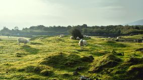 Sheeps in field Royalty Free Stock Image