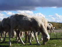 Sheeps. In a field with a cloudy sky background stock image